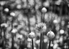 Three Little Onions (Fourteenfoottiger) Tags: onions alliums flowers bokeh vintagelens vintagebokeh monochrome blackandwhite nature pompoms garden plants bubblebokeh contrast lines textures standing burst pod pop explode