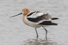 American Avocet (male) (Jeremy Meyer) Tags: americanavocet american avocet shorebird bird