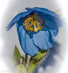 "Giant Tibetan Blue poppy (Meconopsis""Lingholm) (ChrisKirbyCapturePhotography) Tags: blue blueflower himalayanpoppy tibetanpoppy meconopsis tinetanbluepoppy gianttibetanbluepoppy tromsoarcticalpinebotanical garden"