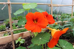 Nasturtiums (Julie (thanks for 8 million views)) Tags: 100flowers2017 2017onephotoeachday polytunnel beddingplants colourful canoneos100d garden ireland irish wexford
