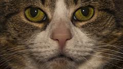 Resistance is Futile (gimmeocean) Tags: mysweetlittlezoecat feline cateye cateyes pupil closeup whiskers nose fur macro detail
