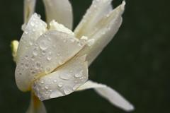 _DSC4005 (Marc R. A.) Tags: flower rain drops a7r2 loxia235