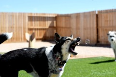Bubble hunting (GothyFaery) Tags: dog cattledog cute bubbles snarl openmouth
