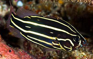 Sixline Soapfish, juvenile - Grammistes sexlineatus