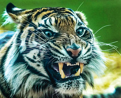 (wileygerald) Tags: tiger snarl
