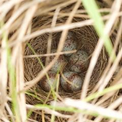 Melospiza melodia (Vicinum) Tags: birds nests eggs