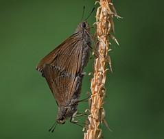 Sexy Moths (ACEZandEIGHTZ) Tags: nikon d3200 moth skipper papilionoidea hesperiidae bokeh macro closeup allnaturesparadise