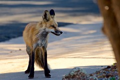 Suburban Fox in Feathered Light (The Good Brat) Tags: co us fox red suburban featheredlight evening directional wildlife wild nature animal