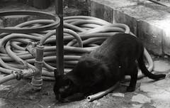 Lisbon (marcpomerol) Tags: lisbon lisboa urban urbana city ciudad ciutat bw bn blackcat cat