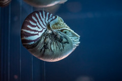 750_4970 (jinkemoole) Tags: 鳥羽水族館 toba aquarium animal nautilus オウムガイ
