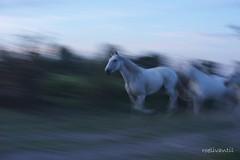 Paarden/horses (5) (roelivtil) Tags: blur bokeh horses paarden wednesdaybokeh speed france moving