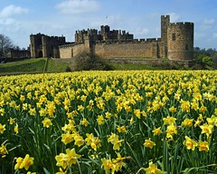 Alnwick Castle in April (WISEBUYS21) Tags: enelnorestedeinglaterra norte danslenordestdel'angleterre nord imnordostenvonengland norden nelnordestdell'inghilterra inhetnoordenvanengeland noordoosten idennordligedelafengland koillisenglannissa pohjois landskap landskab maisema paysage landschaft paesaggio paisaje campo campagne campagna alnwick castle april northumberland northumbria percy hotspur harry potter daffodils yellow blue sky spring wisebuys21 northeastofengland green landscape country countryside trees aln newcastleupontyne 30th 2017