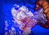 Jellyfish Hypnosis (Oleh Khavroniuk (Khavronyuk)) Tags: nikon nikkor toronto ontario canada aquarium aquatic aqua underwater jellyfish hypnosis art photoart ripley geotagged light sea water blue red new flickr fishtank nature white 365 vacation exposure digital naturaleza sundaylights