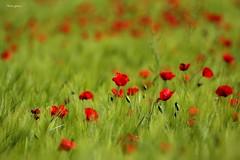 Red spring 2017 (Peideluo) Tags: primavera campo spring colors red amapolas flowers hierba flor
