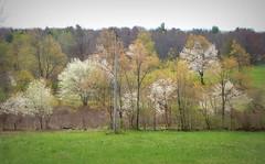 Shadbush in bloom (edenseekr) Tags: shadbush floweringtrees nyspring