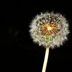 Make a wish (trudymurton) Tags: dandelion wish nature clock