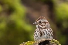 Bruant chanteur / Song sparrow (ALLAN .JR) Tags: bird oiseau bruantchanteur song sparrow nature wildlife spring eye nikon ilestbernard