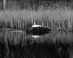 Mother Goose (shapiroc) Tags: goose mothergoose spring minnesota