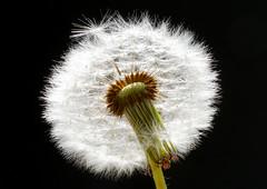 Pusteblume - Dandelion (Walter Horstmann-Cholibois) Tags: dandelion pusteblume natur nature macro makro nikon d800 löwenzahn tamron sp 28 90 mm