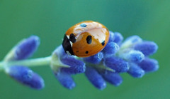 point black (explored) (Simple_Sight) Tags: point black ladybug ladybird lavender animal flower green outdoors garden spring summer closeup nature macro blue orange red flowers ngc npc