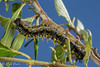 California Tortoiseshell (Nymphalis californica) - Caterpillar on buckbrush (Ceanothus cuneatus) (aliceinwl1) Tags: arthropod arthropoda brushfootedbutterfly butterfly ca california californiatortoiseshell indiansroad insect insecta lepidoptera lospadresnationalforest montereycounty nymphalidae nymphalinae nymphalini nymphalis nymphaliscalifornica papilionoidea tortoiseshell tortoiseshells californica caterpillar larva locpublic viseveryone