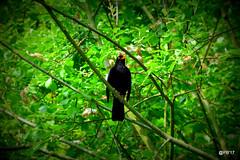 Blackbird.Green tree.