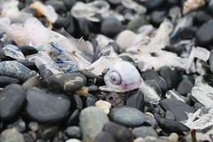 Janthina e Velelle (Carla@) Tags: janthinapallida lumacadimare velellavelella gasteropode medusa liguria italia europa mfcc canon