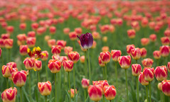 die Andere(n) (wpt1967) Tags: canon100300mm eos6d eos60d tulpen tulip wpt1967