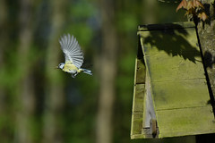Blue tit (powerfocusfotografie) Tags: bird nest bluetit nature backyard eurasianbluetit cyanistescaeruleus birdlife wildlife inflight bif wings henk nikond7200 powerfocusfotografie