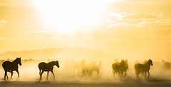 wildhorse5-2186 (Jami Bollschweiler Photography) Tags: wild horse sunset foal filly pinto onaqui herd wildlife photography west desert utah great basin fighting
