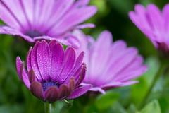 Purple world (Thomas DARTIGUES) Tags: pdc bleu blue flower bokeh dof profondeur de champ plante fleur effet brillant macro calme extérieur