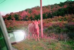 POP POP POP POP (Anne-Sophie Landou) Tags: pop psyche cow wild animal nature corsica car flash 35mm film shootfilm analog pink candid