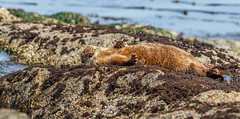 SOAKING SUNRAYS (Sandy Stewart) Tags: otters sun sunny spring riverotters ocean wet rocks shoreline sandystewart nature wildlife