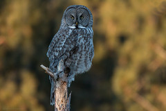 Great Gray Owl (NicoleW0000) Tags: great gray owl wild wildlife nature photography golden hour