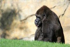 Gorille de côte (olivier.ghettem) Tags: bioparcvalencia valence valencia espagne spain gorille gorilledecôte primate primates ape grandsinge afrique africa afriqueéquatoriale