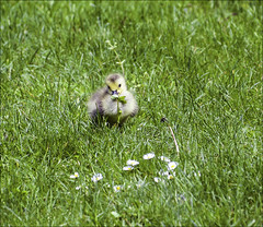 Dont Eat the Daisies.. (Elaine 55.) Tags: gosling baby bodnantgardens daisies insect ngc npc