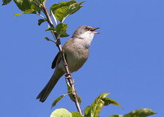 Whitethroat 1 ANR 10th May 2017 (Nigel B2010) Tags: whitethroat nature wildlife spring may attenborough nottinghamshire singing song sigma 150600c canon 7dmkii sky blue 2017 explore