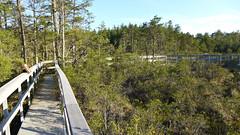 Boardwalk at Webbs Mill Bog (Eric C. Reuter) Tags: bog plants flora carnivorous pitcherplant sundew nj webbsmill may 2017 051717