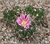 el trio de  ferocactus en flor (carlosjunquero) Tags: ferocactus catus botánico