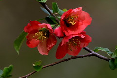 Flowering Quince (Diane Marshman) Tags: floweringquince quince shrub bush spring blooming red blooms blossoms branch leaves garden landscape northeast pa pennsylvania nature