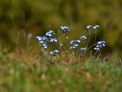 Myosotis (giorgiorodano46) Tags: maggio2017 may 2017 giorgiorodano nikon italy lazio abruzzo appennino apennines montisimbruini parconaturaledeimontisimbruini fossofioio fioio nontiscordardimé wildflowers bokeh miosotis bosco bois woods myosotis