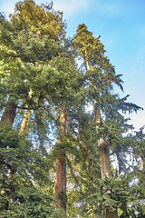 Reach for the Sky (robbo1001) Tags: nature trees places westonbirt