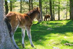 Pays Basque (FrançoisVéquaud) Tags: mondarrain paysbasque pottok cheval pyrénéesatlantique 64 poulain itxassou itsasu coldamezketa countryside