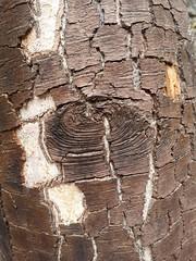 Wood (France-♥) Tags: macro wood intothewoods macromondays texture bois tree arbre forêt bc canada