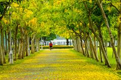 金色之戀 (hosihane) Tags: 台灣 台南市新營區 體育公園 步道 阿勃勒 黃金雨 樹 腳踏車 sony a77