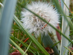 Lots of tiny wishes (Landanna) Tags: dandelion wishes natur natuur nature