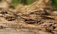 Macro Mondays Member's Choice: Into the Woods (Argentarius85) Tags: nikond5300 sigma105mmf28exdgoshsm macromondays intothewoods southernwoodant formicarufa rotewaldameise wald forest macro makro bokeh depthoffield dof outdoor natur holz wood insekten insect formicidae insecta hmm formica details hautflügler ameisen