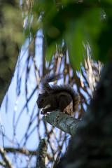 Esquilo <3 (Sthefany Duarte) Tags: t5 cannon animal esquilo brasil brazil barra de guaratiba trilha nature natureza meio ambiente biodiversidade biologia fofo 3