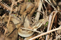Female Adder. (ChristianMoss) Tags: reptile snake adder nature photography wildlife photo vipera berus tangle