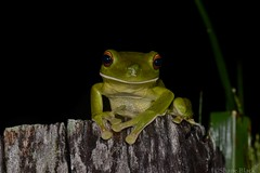 White-lipped Tree Frog (Litoria infrafrenata) (shaneblackfnq) Tags: whitelipped tree frog litoria infrafrenata shaneblack amphibian julatten fnq far north queensland australia tropics tropical